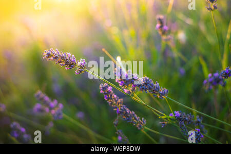 Lavender bushes closeup on sunset. Sunset gleam over purple flowers of lavender. Bushes on the center of picture and sun light on the top left - Stock Photo