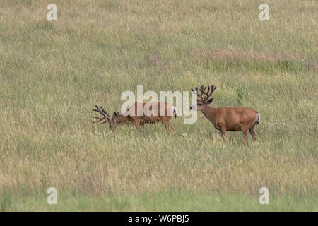 Mule deer Buck in Velvet in Summer - Stock Photo