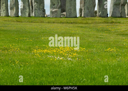 Wild flower colony flowers; buttercup / daisy / daisies / buttercups growing in green grass beside an ancient monument ( Stonehenge Stone Henge)  uK. (110) - Stock Photo