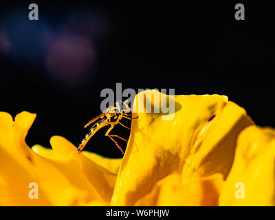 Small yellow wasp, hover fly on a yellow flower with yellow petals. - Stock Photo