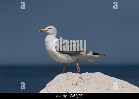 Yellow-legged Gull (Larus michahellis) standing on a rock near Trapani port, Sicily - Stock Photo