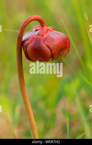 Purple pitcher plant (Sarracenia purpurea), Terra Nova National Park, Newfoundland and Labrador, Canada - Stock Photo