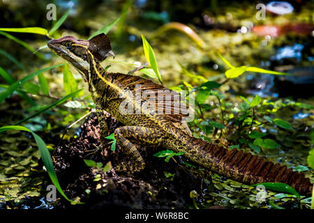 Basiliscus, commonly known as the Jesus Christ lizard Image taken in Panama - Stock Photo