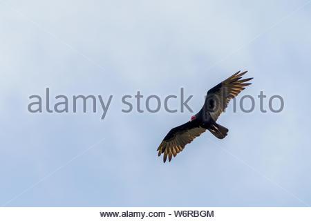 red-headed vulture (Sarcogyps calvus),  Costa Rica - Stock Photo