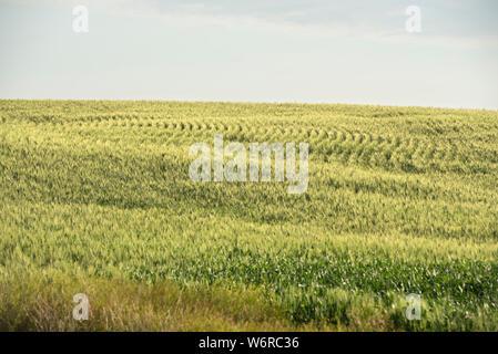 Wheat field rows on rolling hills in southern Saskatchewan. - Stock Photo