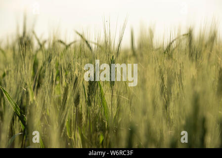 Close up of wheat kernels growing in southern Saskatchewan, some out of focus while some are sharp. - Stock Photo