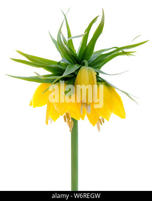 yellow crown Imperial  isolated on white - Stock Photo
