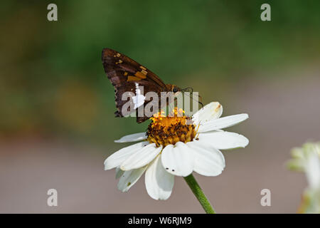 Silver-spotted skipper butterfly or Epargyreus clarus on white Zinnia flower. It is small- to medium-sized species of family Hesperiidae. Zinnia is a - Stock Photo
