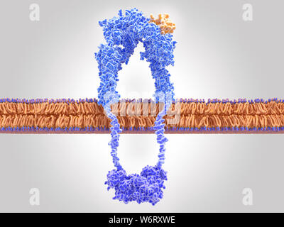 Active insulin receptor, illustration. The insulin receptor (blue) is a transmembrane protein, that has become activated through the binding of insulin (orange). Insulin binding induces structural changes within the receptor. These changes trigger a biochemical chain of events inside the cell (signal transduction), that finally leads to the transport of glucose into the cell via activation of glucose transporters (channel proteins). - Stock Photo