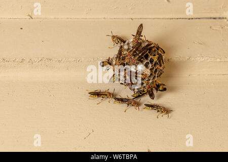 wasps on paper nest hanging on porch ceiling of house - Stock Photo