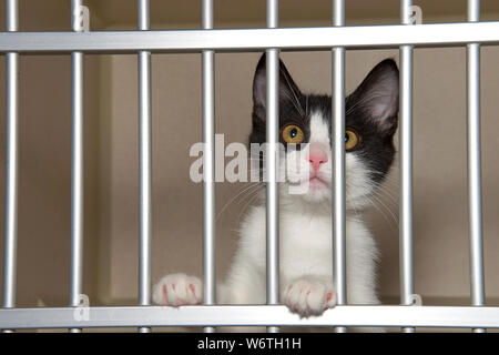 Adorable black and white kitten in a shelter kennel looking out from behind the bars. Stock Photo