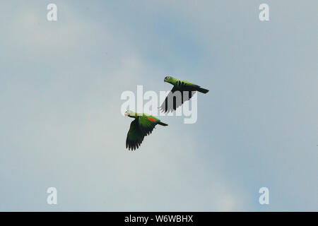 Mealy parrots (Amazona farinosa) in flight, Tambopata River, Peruvian Amazon - Stock Photo
