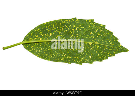 Aucuba Japonica leaf in variegated form isolated on white background. Back side and top view. The plant is commonly called spotted laurel - Stock Photo