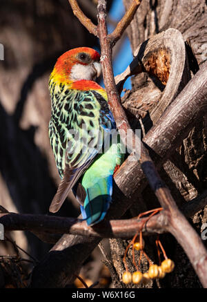 Eastern Rosella, Platycercus eximius, female perched in a tree near Dubbo, Central Western New South Wales, Australia. - Stock Photo