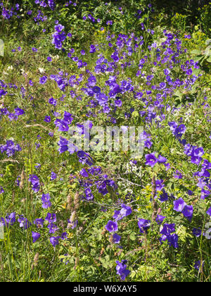 Campanula persicifolia, peach-leaved bellflower, found in abundance on the right day at Hovedoya in Oslo Norway - Stock Photo