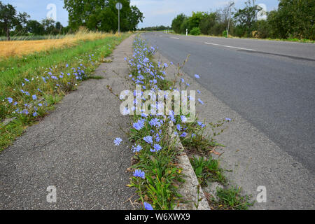 Common chicory with lilac blossoms growing on a sidewalk. - Stock Photo