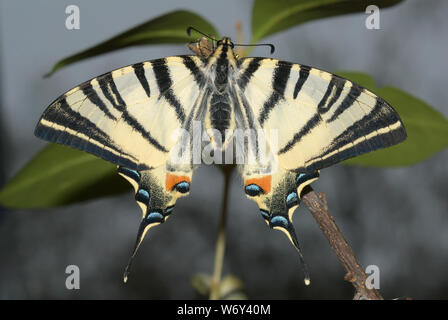 Iphiclides podalirius, scarce swallowtail
