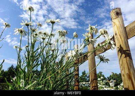 Shasta daisy growing at the garden fence - Stock Photo