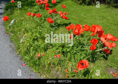 Poppies, Mohnblumen - Stock Photo