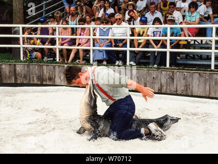 Alligator wrestling is a favorite show to see at Gatorland, a popular family-run tourist attraction since 1949 that is  home to more than 2,000 American alligators near Orlando, Florida, USA. Here a young professional gator handler sits on the back of one of those dangerous reptiles and poses chin-to-chin with the animal. To do this, first he grabs the reptile's jaws together with his two hands and then bends the gator's head back 90 degrees off the ground. Because that prevents the animal from fighting back, the wrestler can then release his hands to complete this stunt. - Stock Photo