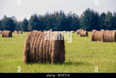 Grass hay that has been harvested, dried, and then rolled and tied into round bales dots a green farm field in northern Florida, USA. Most of the hay made in Florida is from perennial grasses such as Bermuda grass and star grass. A round bale of hay can weigh from 600 to 1,000 pounds (272-454 kilograms) depending on the density of the grass and how much the roll is condensed by the baling machine before being tied up. - Stock Photo