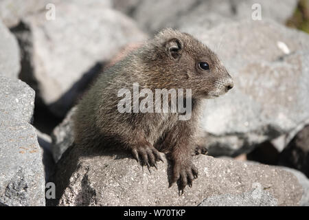 Baby hoary marmot (Marmota caligata) in Mount Rainier National Park, WA, USA; July 2019 - Stock Photo