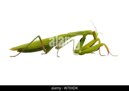 close view of green female mantis religiosa praying mantis on white  background - Stock Photo