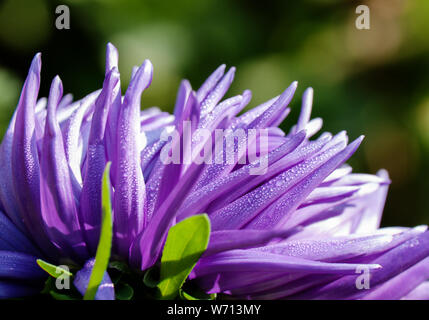 Beautiful petals of purple Aster flower close-up, with dew drops in the early summer morning - Stock Photo