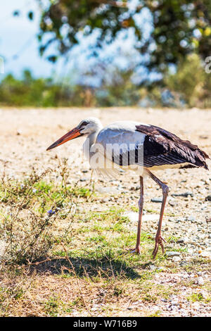 Close picture of a friendly European white stork, Ciconia ciconia near Lake Kerkini, Greece in September - Stock Photo