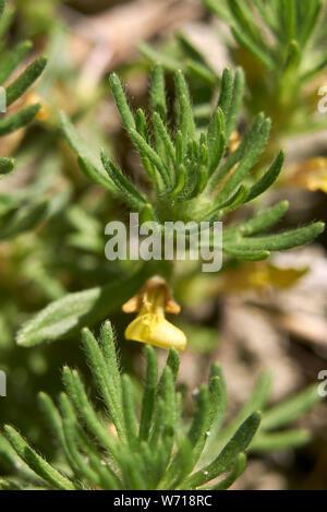 Ajuga chamaepity close up - Stock Photo