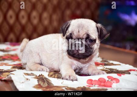 a sweet dog pug - Stock Photo