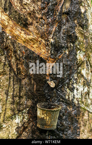 Tapping sap rubber latex from the rubber tree - Stock Photo