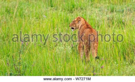 Lioness (Panthera leo) walking in lush green savannah grass, Murchison Falls National Park, Uganda, Africa - Stock Photo