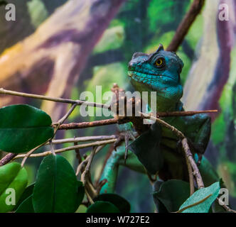 closeup of a green plumed basilisk sitting on a tree branch, tropical reptile specie from America - Stock Photo