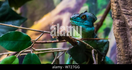 green plumed basilisk with its face in closeup, tropical reptile specie from America - Stock Photo