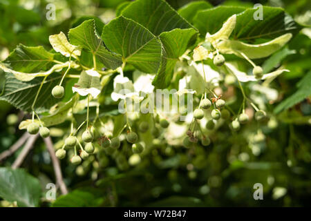Large-leaved Lime (Tilia platyphyllos) tree - Stock Photo