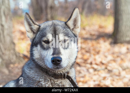 Portrait of dog breed West Siberian Laika