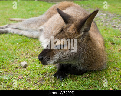 Wallaby relaxing on the grass at Tamar Otter & Wildlife Centre, North Petherwin, Nr. Launceston, Cornwall, UK - Stock Photo
