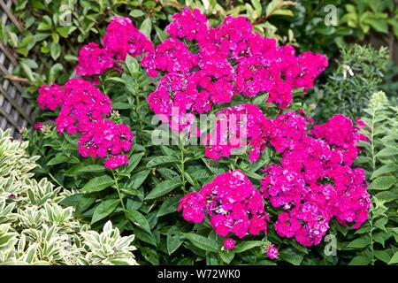 Purple Garden phlox (Phlox paniculata) - Stock Photo