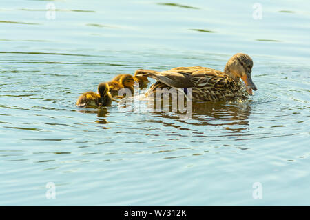 A female mallard duck, Anas platyrhynchos, swimming in a pond with her ducklings in central Alberta, Canada - Stock Photo