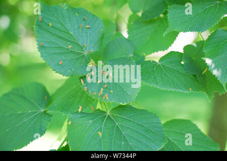 tree leaves affected by aphids. Insect pests and tree deseases. Organic food and agriculture. - Stock Photo
