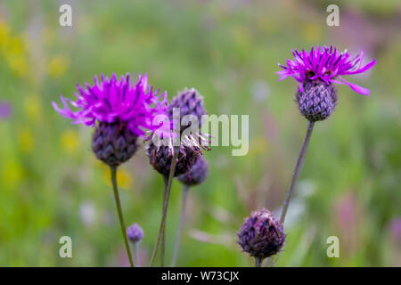 Bright flower burdock on a blurred background close-up. - Stock Photo