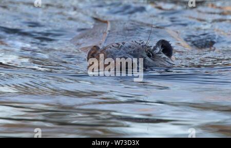 Beaver (Castoridae) - Stock Photo