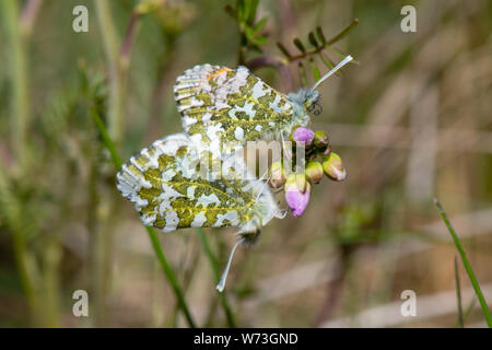 Orange-tip butterflies (Anthocharis cardamines) - Stock Photo