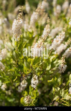 Clethra alnifolia 'Sweet Pepperbush'. - Stock Photo