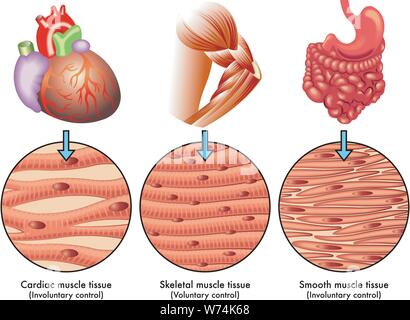 Medical illustration of the various types of human muscle tissue - Stock Photo