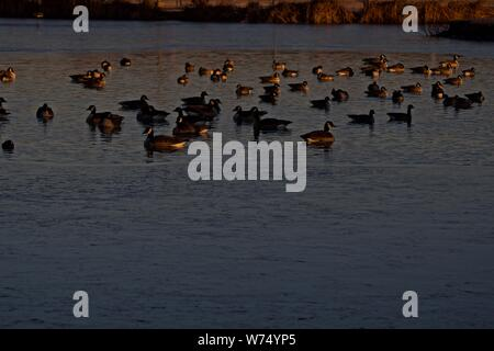 Canada geese Wintering on Lindsey Park Public Fishing Lake, Canyon, Texas. - Stock Photo
