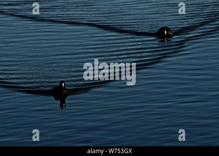 American Coots on Lindsey City Park Public Fishing Lake, Canyon, Texas. - Stock Photo
