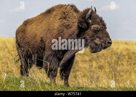 Large buffalo with horns standing in a field of grass with blue sky - Stock Photo