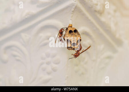 Wasp nest with wasps sitting on it. Wasps polist. The nest of a family of wasps which is taken a close-up - Stock Photo